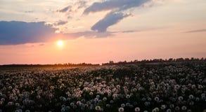 Puesta del sol sobre el campo de dientes de león Imagenes de archivo