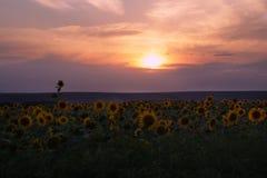 Puesta del sol sobre el campo de flor imagenes de archivo