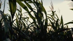 Puesta del sol sobre el campo de maíz Maíz en el sol almacen de metraje de vídeo