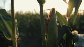 Puesta del sol sobre el campo de maíz Maíz en el sol almacen de video