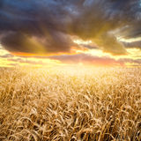 Puesta del sol sobre el campo de trigo imagen de archivo libre de regalías