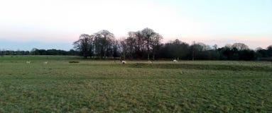Puesta del sol sobre el parque de Tatton con la manada de los ciervos en fondo - jardines del parque de Tatton Fotografía de archivo