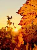 Puesta del sol sobre el viñedo foto de archivo