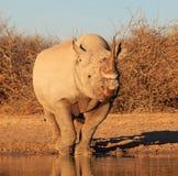 Puesta del sol sobre la especie - rinoceronte negro en peligro Imagen de archivo libre de regalías