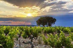 Puesta del sol sobre los viñedos con los árboles Imagenes de archivo