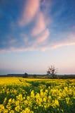 Puesta del sol sobre un campo de la violación de semilla oleaginosa Foto de archivo libre de regalías