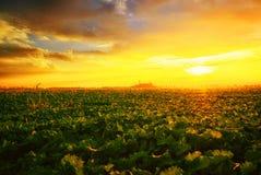 Puesta del sol sobre un campo del canola Imagenes de archivo