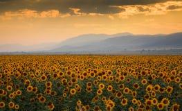 Puesta del sol sobre un campo del girasol fotos de archivo