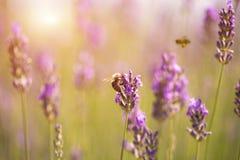 Puesta del sol sobre un campo violeta de la lavanda Fotografía de archivo libre de regalías