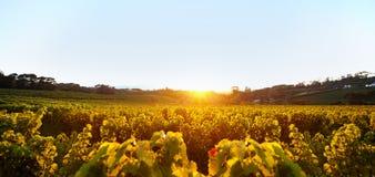 Puesta del sol sobre viñedo Fotografía de archivo