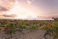 Puesta del sol sobre viñedo Imagen de archivo libre de regalías