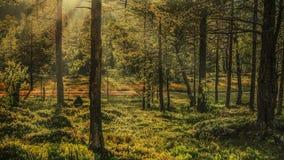Puesta del sol soleada en el bosque Imagen de archivo