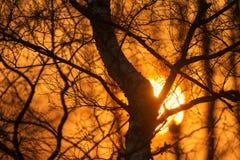 Puesta del sol a través de un bosque del abedul como silueta Fotos de archivo