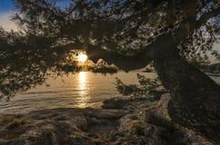 Puesta del sol a través del Pino-árbol Fotografía de archivo