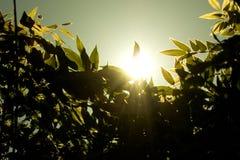 Puesta del sol verde oliva Imagen de archivo