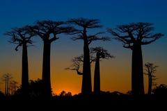 Puesta del sol y árboles de los baobabs Imagenes de archivo