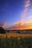 Puesta del sol y girasoles Foto de archivo