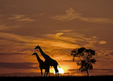 Puesta del sol y las jirafas Imagen de archivo