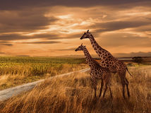 Puesta del sol y las jirafas Fotos de archivo libres de regalías