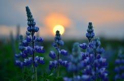 Puesta del sol y plantas púrpuras Foto de archivo