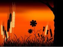 Puesta del sol y trigo Imágenes de archivo libres de regalías