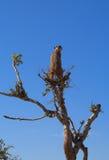 Puesto de observación de Meerkat Imagen de archivo
