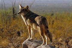 Puesto de observación del coyote fotos de archivo