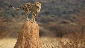 Puesto de observación del guepardo Imagen de archivo libre de regalías