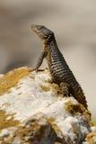 Puesto de observación del lagarto Foto de archivo libre de regalías