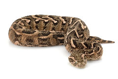 Puff adder Royalty Free Stock Photo