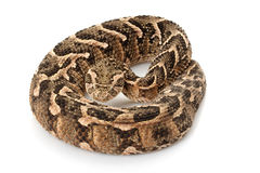 Puff adder Royalty Free Stock Photos