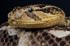 Puff adder. Bitis arietans is a venomous viper species found in savannah and grasslands from Morocco and western Arabia throughout Africa except for the Sahara stock photos