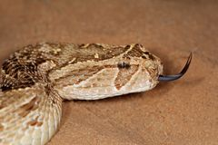Puff adder Royalty Free Stock Images
