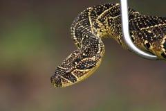 Puff adder. In handlers steel snake hook Royalty Free Stock Photo
