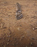 The Puff Adder (Bitis ariens) Stock Photo