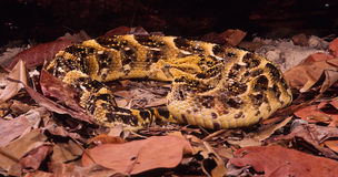 Puff adder (bitis arietans) Royalty Free Stock Photos