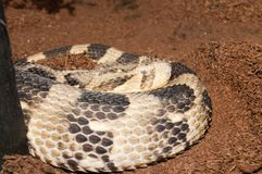Puff Adder (bitis arietans) Stock Photos