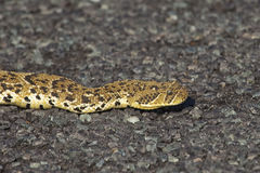 Puff adder. A Puff adder (Bitis arietans) on a grey gravel surface of a road, West Coast National Park, South Africa Royalty Free Stock Photos
