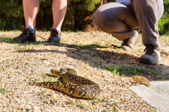 Puff adder (Bitis arietans) lying next to legs Royalty Free Stock Photography