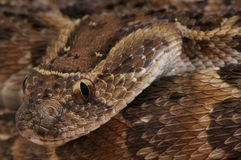 Puff adder / Bitis arietans Royalty Free Stock Photos