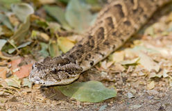 Puff adder (Bitis arietans) slithering Royalty Free Stock Photo