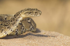 Puff Adder, (Bitis arietans) South Africa Royalty Free Stock Image