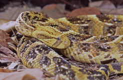 Puff adder (bitius arietans) Stock Photo