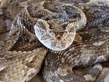 Puff adder. Close-up of a coiled puff adder (Bitis arietans) snake ready to strike, South Africa stock photography