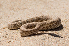 Puff adder in the desert. Seen and shot on selfdrive safari tour through natioal parks in namibia, africa stock photography