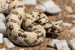 Puff adder in the desert. Seen and shot on selfdrive safari tour through natioal parks in namibia, africa stock photos
