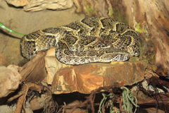 Puff adder. Lying on the rock Royalty Free Stock Photography