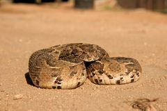 Puff adder lying. The  puff adder was in the lodge. He was remove from the lodge and they release him in the bush again Royalty Free Stock Image