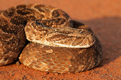Puff adder portrait Royalty Free Stock Images