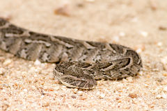 Puff adder snake in road Stock Photo